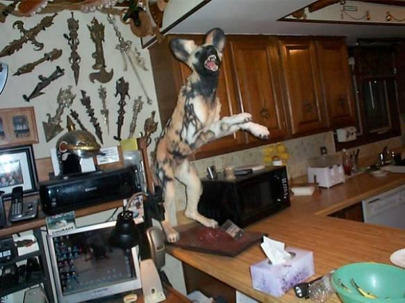 hyena on the kitchen counter